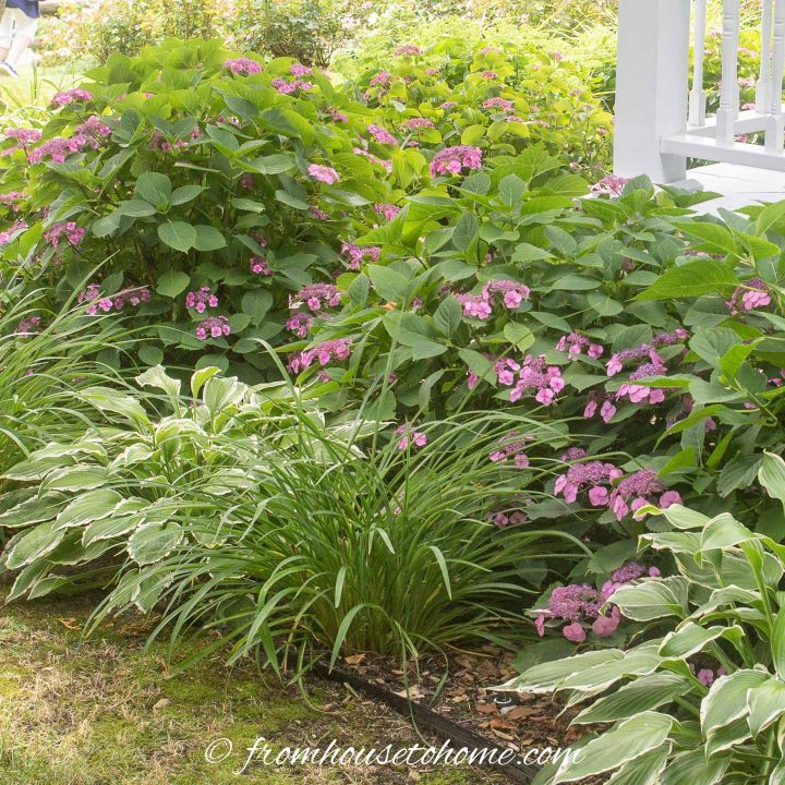 Hydrangeas, Hostas and Day Lilies growing in a shady garden bed at the front of a house