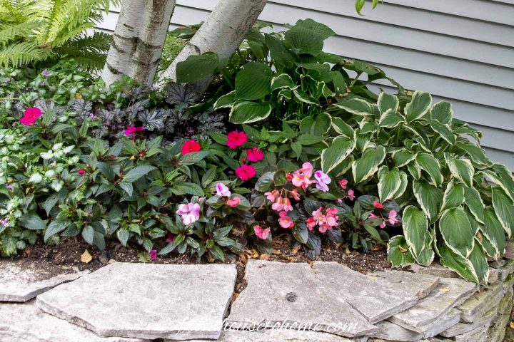 Hostas, Lamium, Impatiens and Begonias growing a shaded garden bed at the front of the house