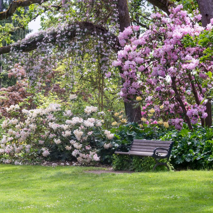 Clematis vine growing over a tree in a shade garden with blooming Rhododendrons ©Jamie Hooper - stock.adobe.com