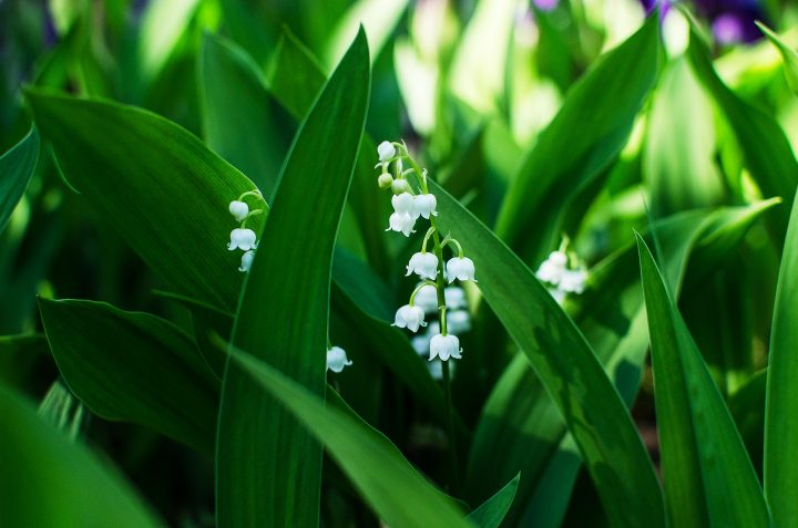 Lily of the valley - ©Ольга Шиманович - stock.adobe.com