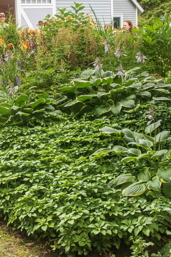 Pachysandra growing with hostas in the shade garden