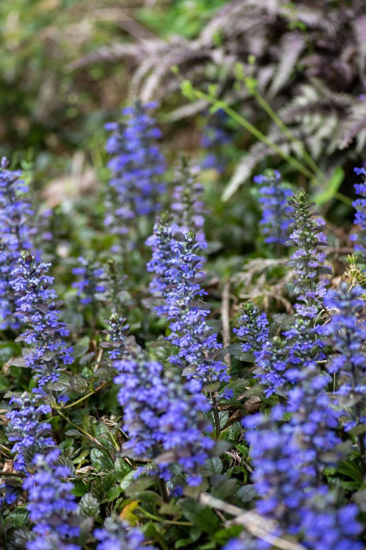 Ajuga reptans perennial ground cover for shade