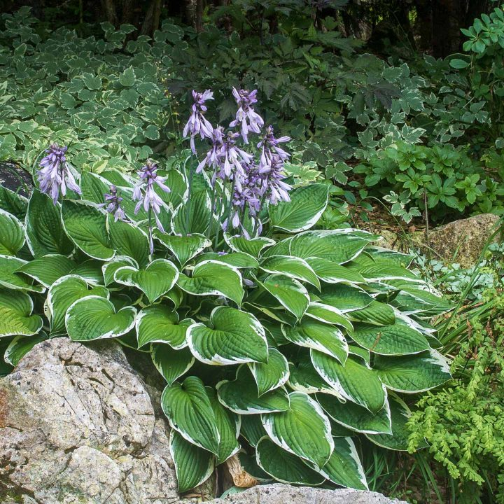 Hosta with mauve flowers in the perennial shade garden