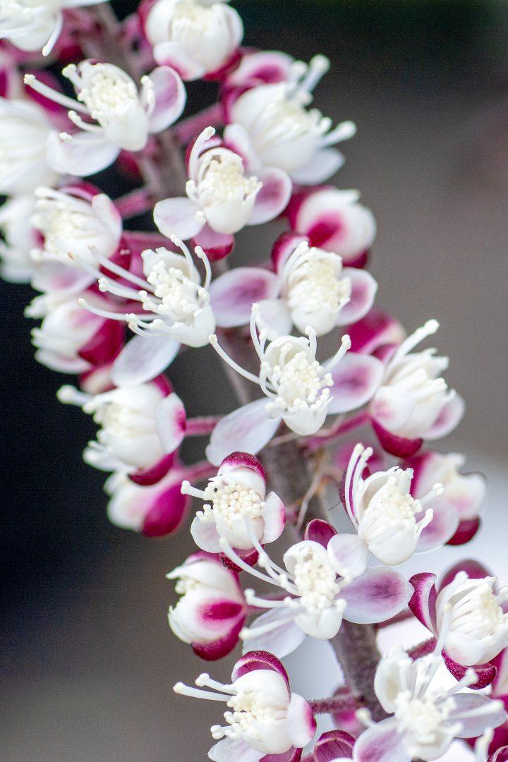 Cimicifuga ramosa close up of flower ©Anovva- stock.adobe.com