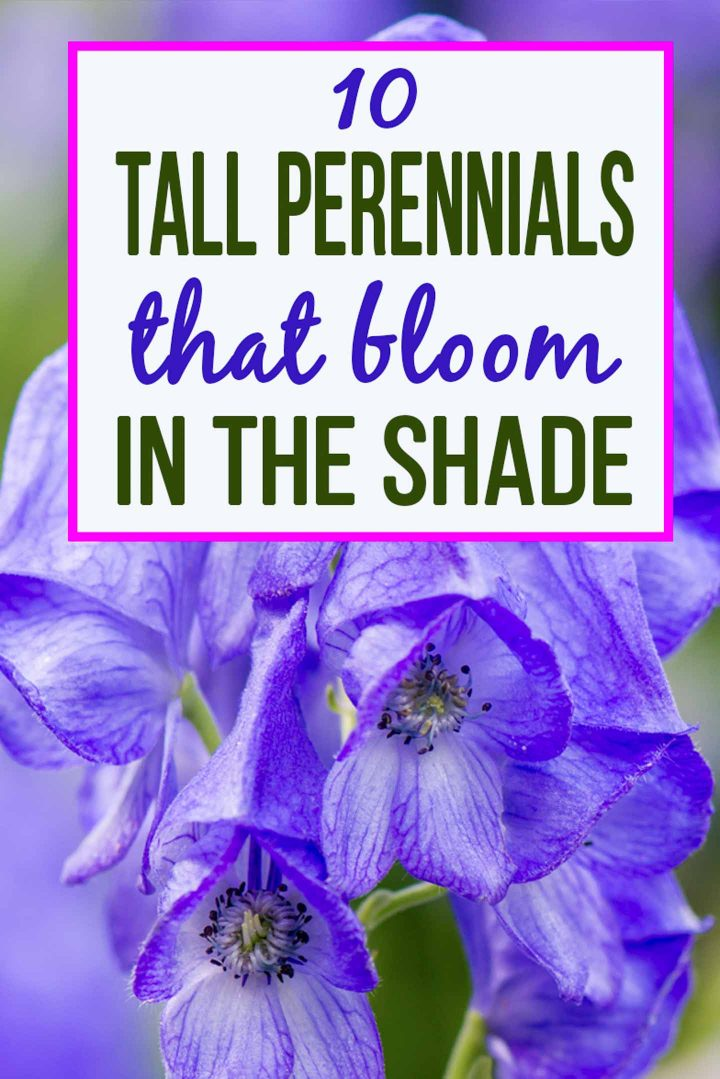 10 Tall Shade Perennials: Flowering Plants That Love The Shade
