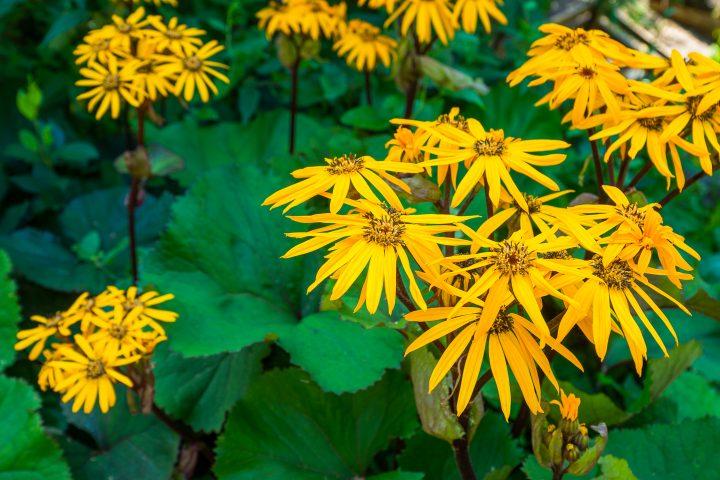 Ligularia dentata 'Othello' ©maxandrew - stock.adobe.com