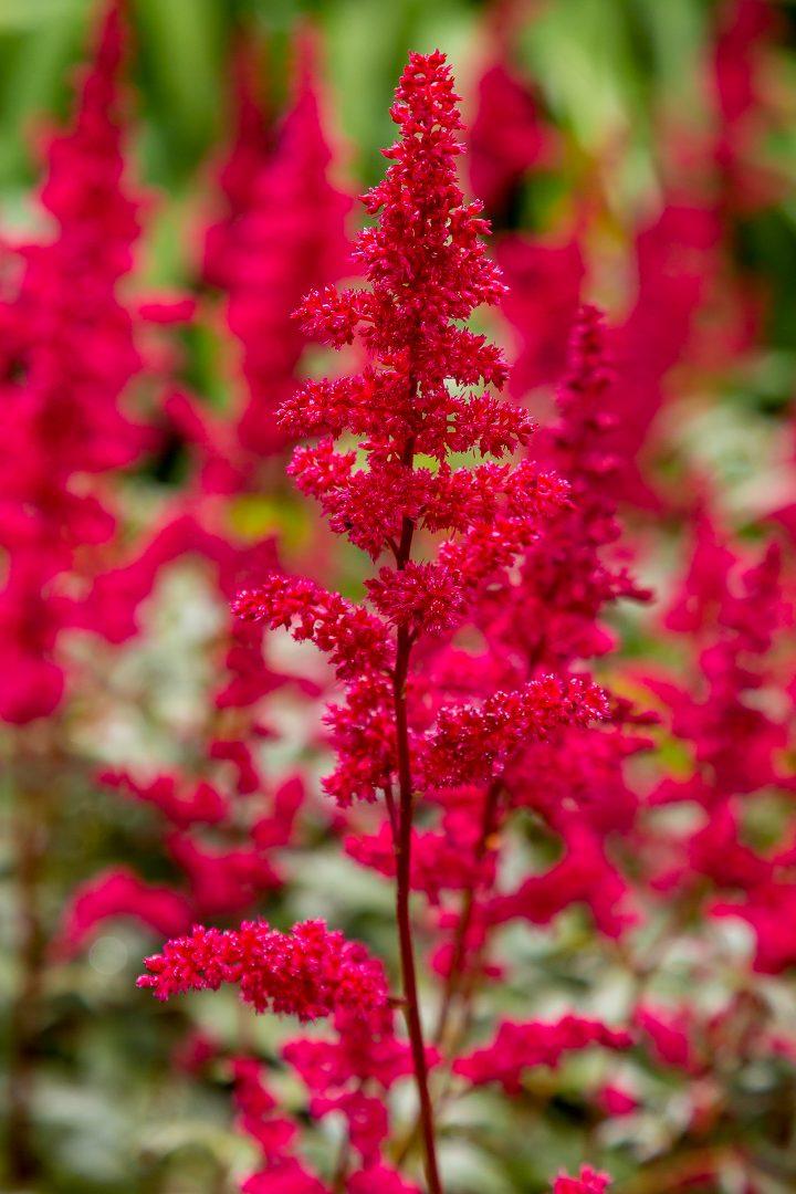 Astilbe Japonica 'Red Sentinel' ©olgabungova - stock.adobe.com