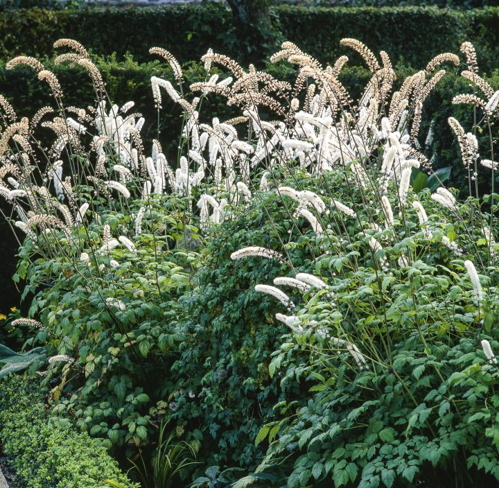 A clump of Actaea simplex growing in the shade ©PIXATERRA - stock.adobe.com