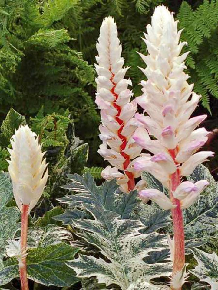 Acanthus mollis 'Whitewater' flowers and foliage