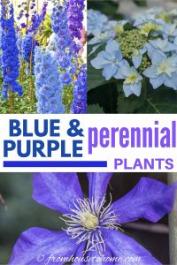 blue and purple perennial plants