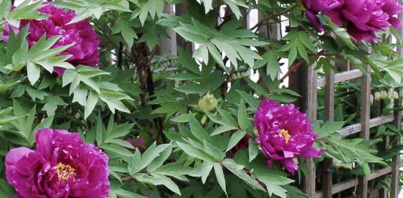 shade loving shrubs