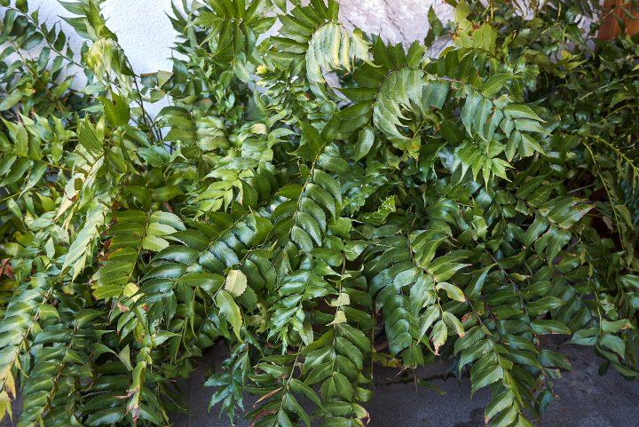 Holly fern (Cyrtomium falcatum)