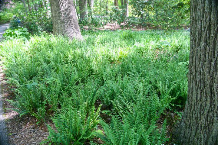 Christmas Fern(Polystichum acrostichoides)