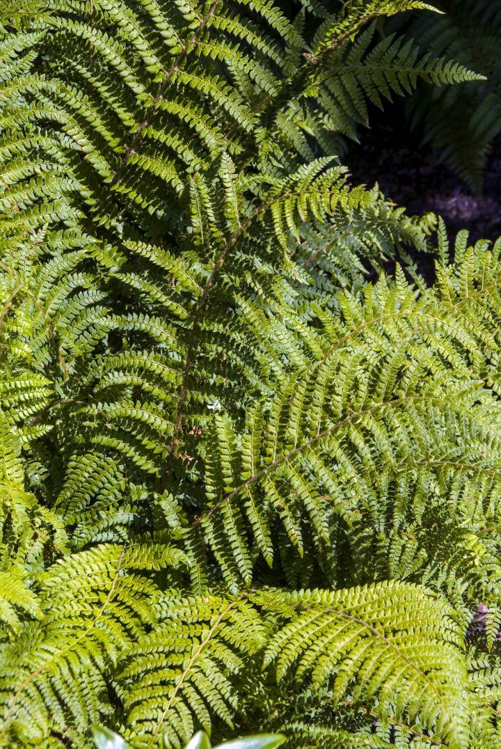 Japanese Tassel Fern(Polystichum polyblepharum) ©HVPM dev - stock.adobe.com