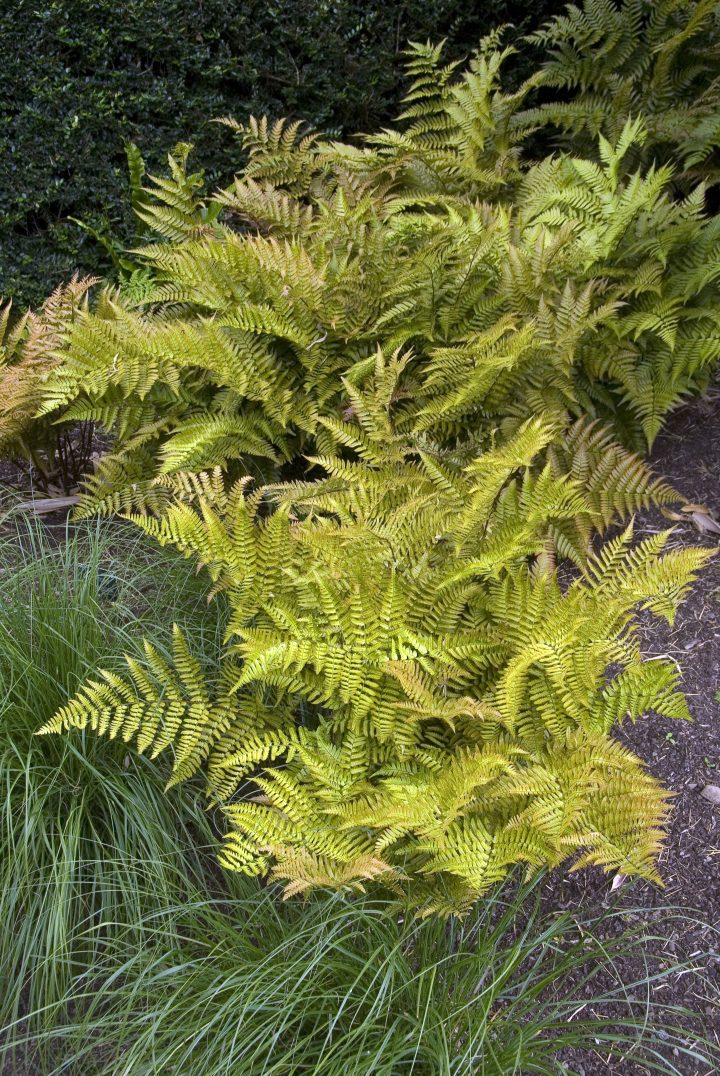 Autumn Fern (Dryopteris erythrosora) ©HVPM dev - stock.adobe.com