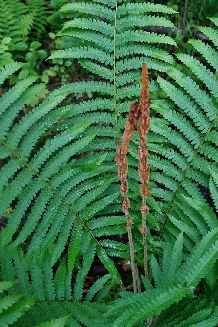 Cinnamon fern (Osmunda cinnamomea) with fertile and sterile fronds ©bob - stock.adobe.com