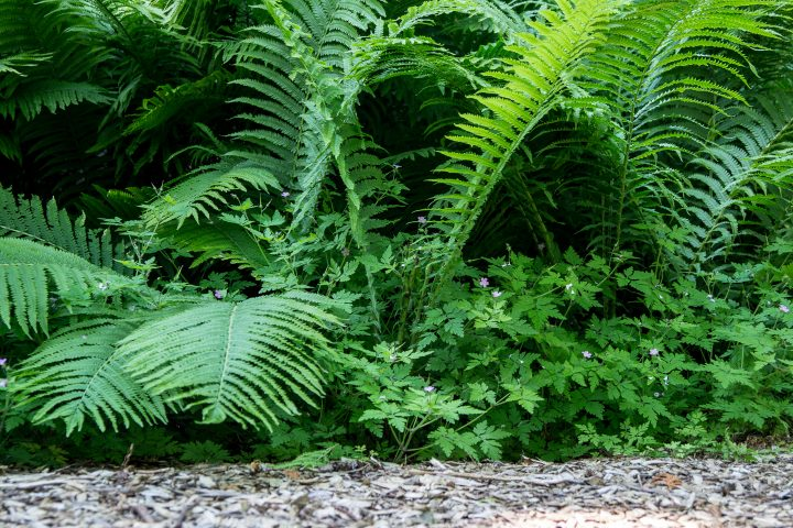 Large ostrich fern fronds growing in the wild ©ehrlif - stock.adobe.com