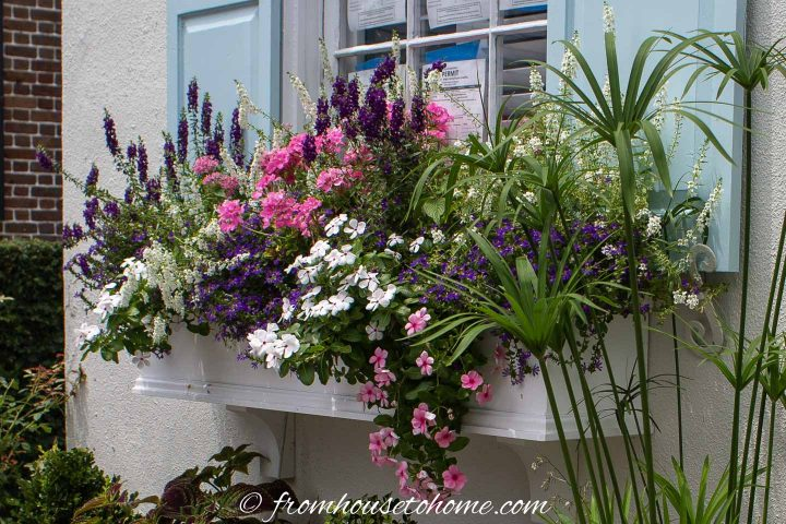 Geraniums, Angeliona and Vinca in a window box in full sun