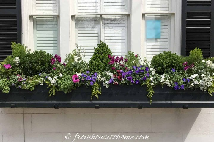 Boxwood, creeping jenny and other perennials in a window box in Charleston