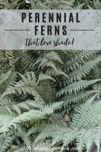 perennial ferns that love shade