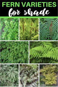fern varieties for shade