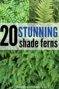 20 stunning shade ferns