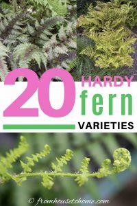 20 winter hardy fern varieties