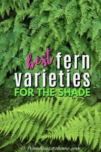 best fern varieties for the shade