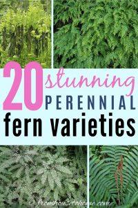 20 stunning perennial fern varieties