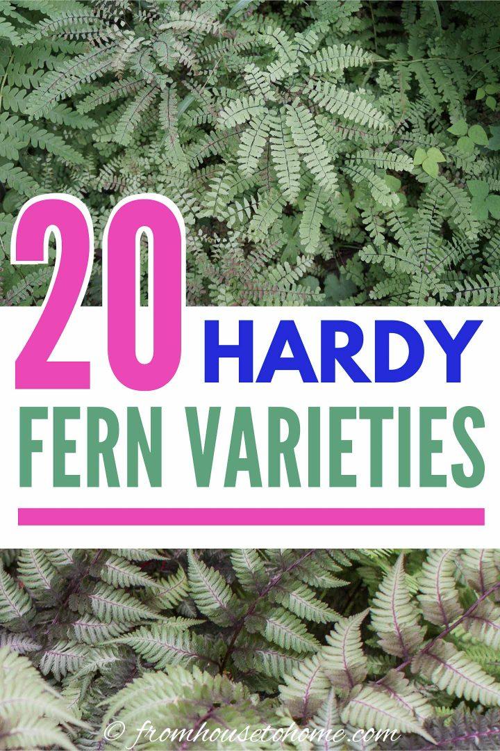 20 hardy fern varieties