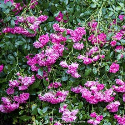 full sun perennials - polyantha roses