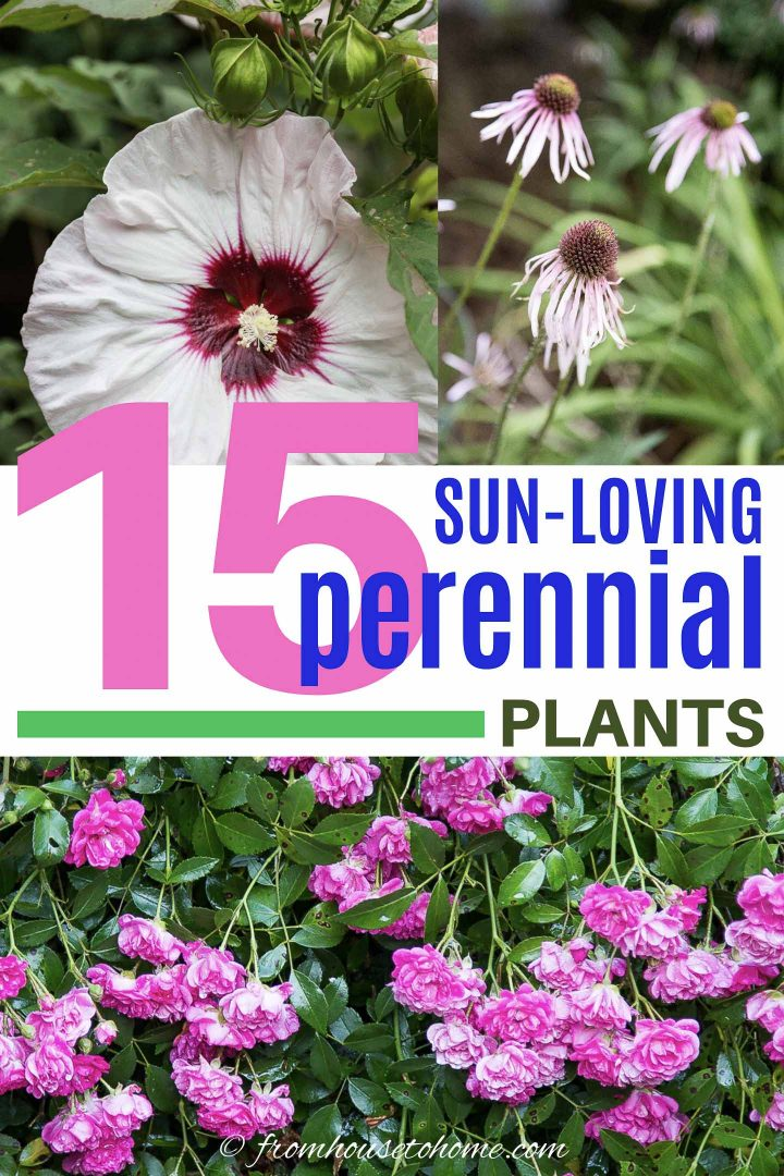 15 sun-loving perennial plants