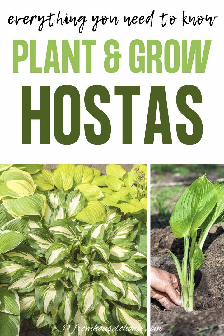 Hosta care: everything you need to know to plant and grow Hostas