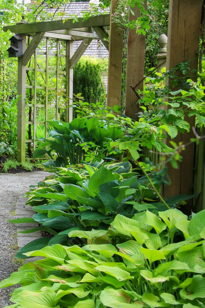 Hostas growing along a shady path in front of an arbor