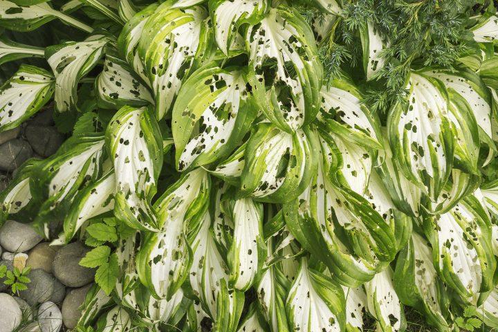 Hosta leaves eaten by slugs or snails ©cornejavo - stock.adobe.com