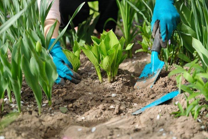 Hosta being transplanted ©Valerii Honcharuk - stock.adobe.com