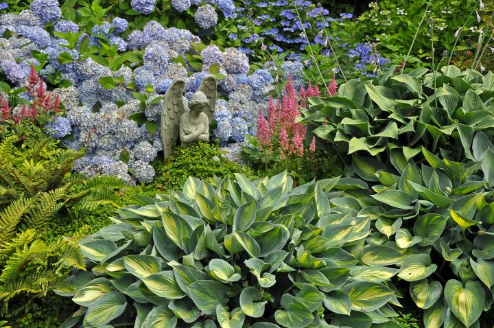 Hostas planted with ferns, astilbe and hydrangeas in the garden