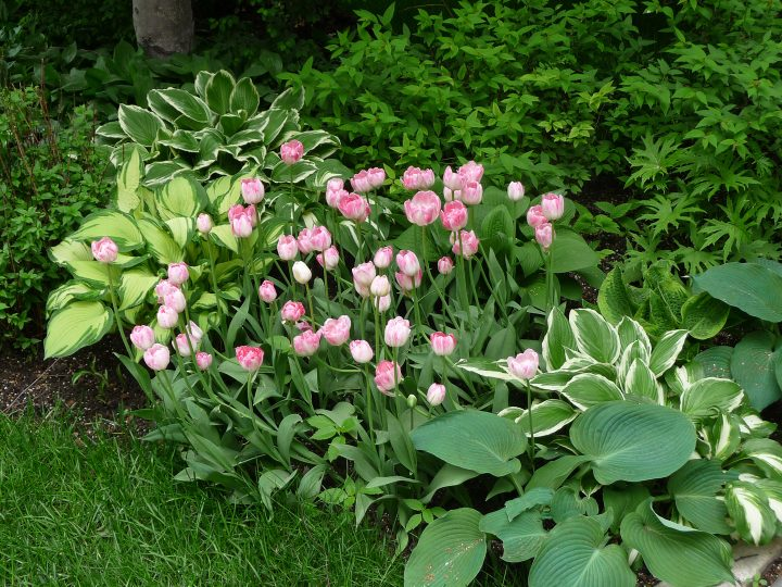 Hostas planted with pink tulips in the shade garden ©Asetta - stock.adobe.com