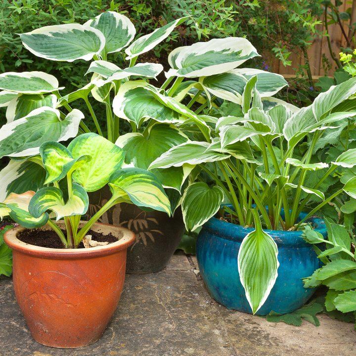 Hostas growing in pots ©doethion - stock.adobe.com