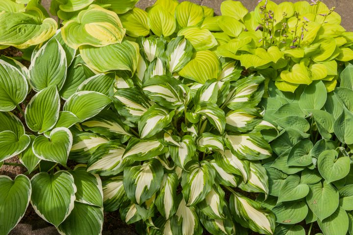 A group of different Hostas growing together