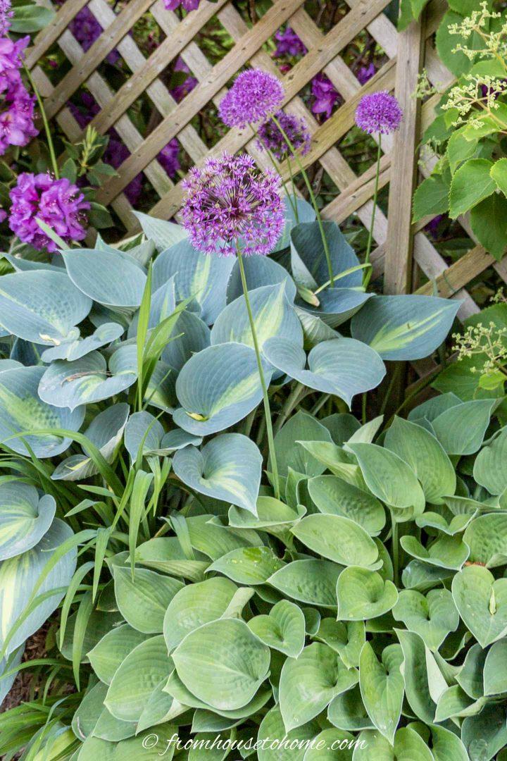 Purple Alliums growing up through Hostas