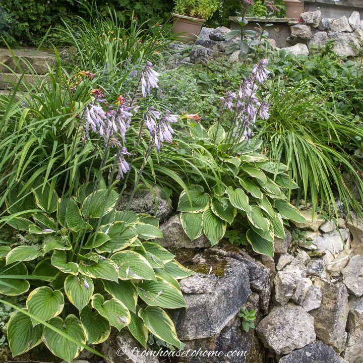 Landscaping with hostas and daylilies