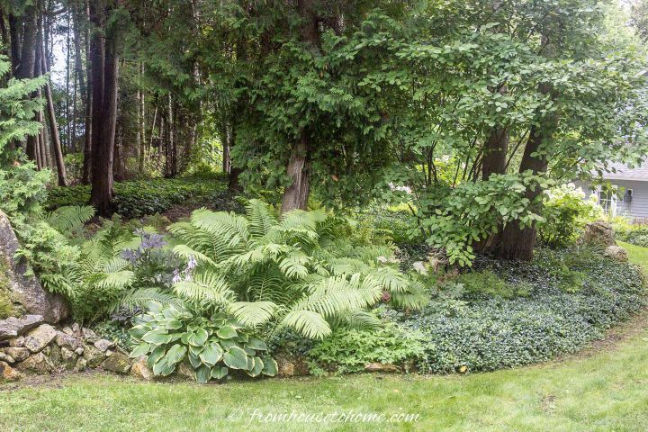 Hostas planted with ferns
