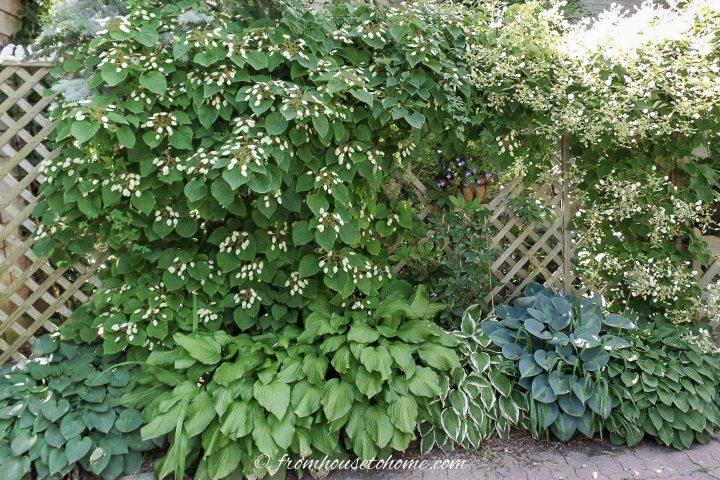 Hostas growing under a climbing Hydrangea vine