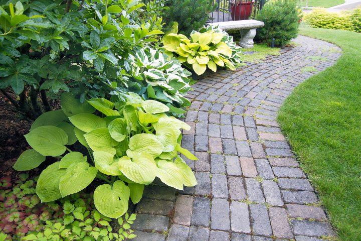 Alternating Hostas lining a garden path