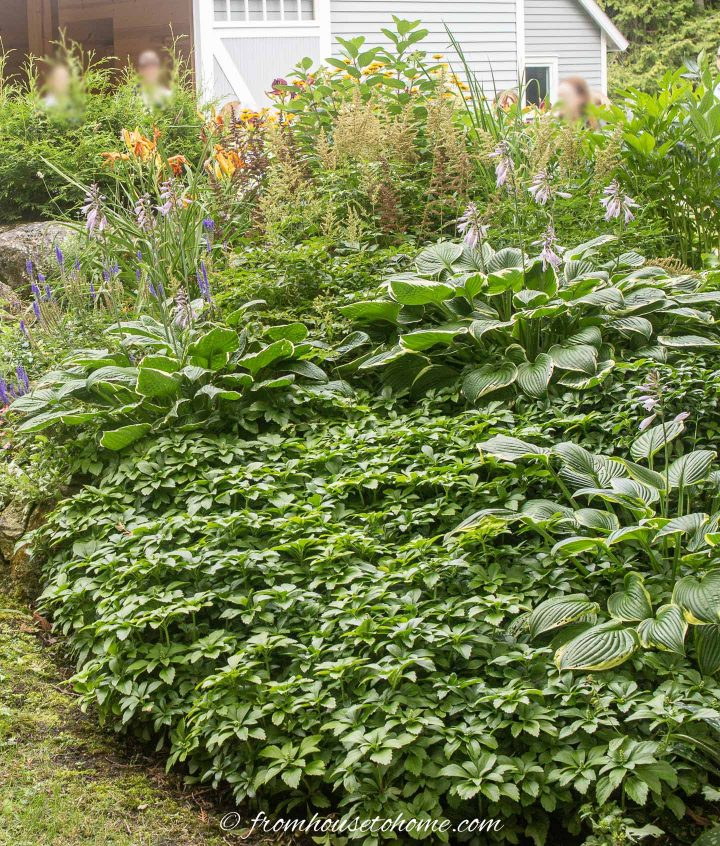 Hostas and Pachysandra planted together