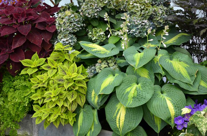 Hosta planted with Coleus and a Hydrangea