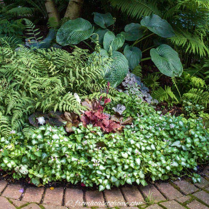 Hostas planted with Lamium, Heuchera and ferns