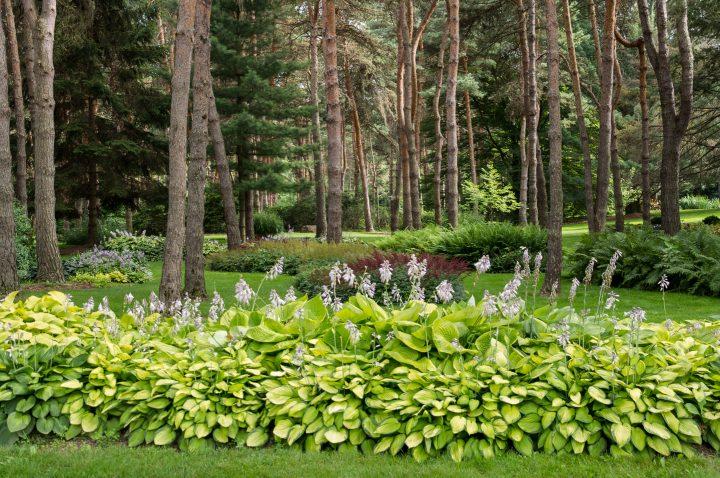 A large garden border made of Hostas