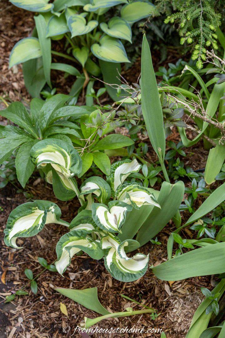 Hosta leaves covering old bulb leaves
